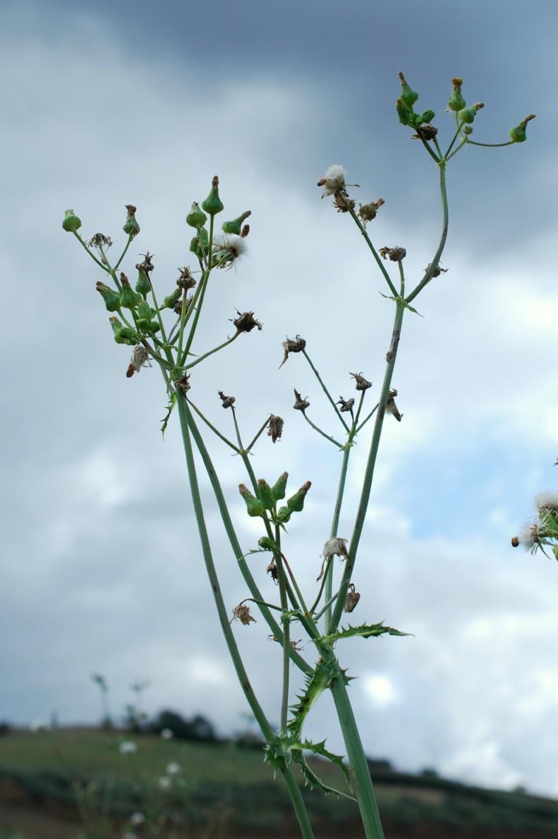 Sonchus asper subsp. asper 22