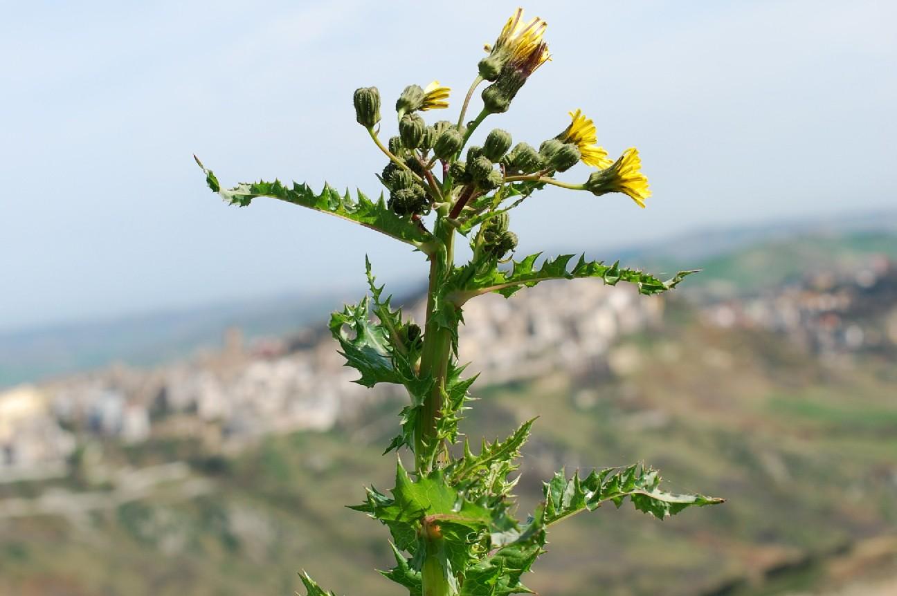 Sonchus asper subsp. asper 24