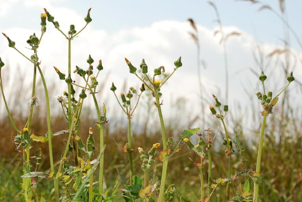 Sonchus asper subsp. asper 7