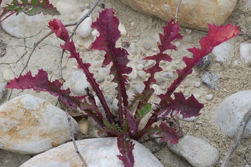 Sonchus oleraceus 10