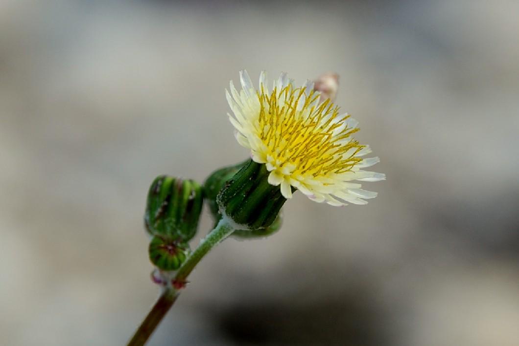 Sonchus oleraceus 12