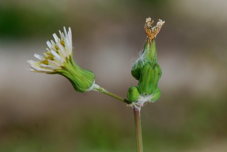 Sonchus oleraceus 15