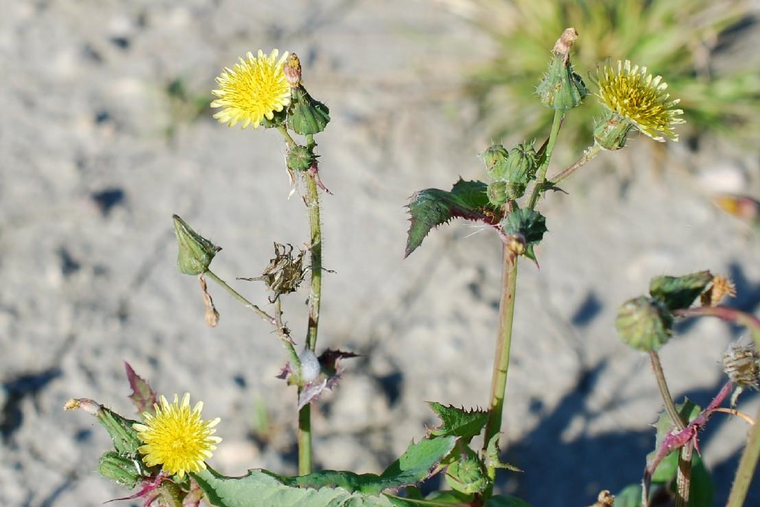 Sonchus oleraceus 17