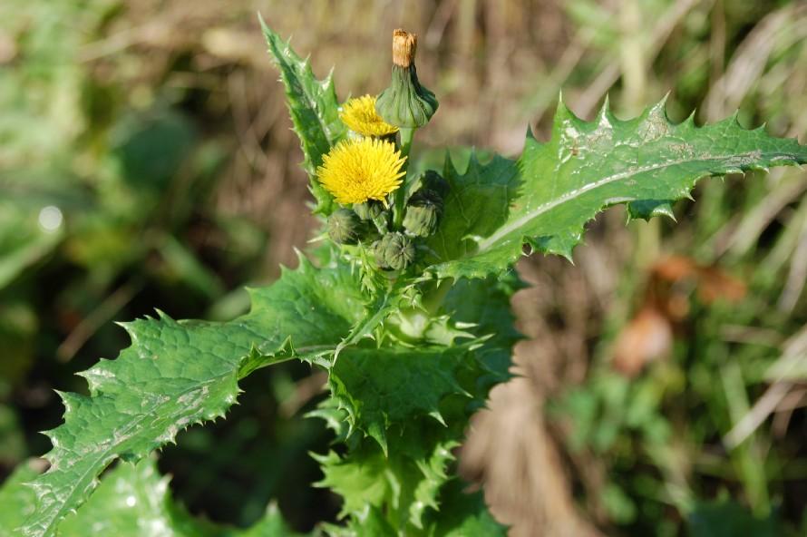 Sonchus asper subsp. asper