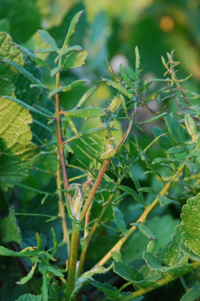 Sonchus tenerrimus 7