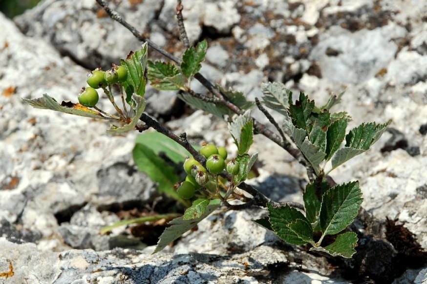 Sorbus aria subsp. aria