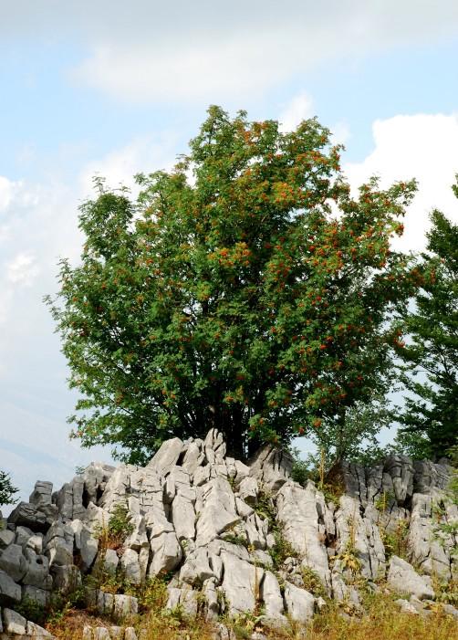 Sorbus aucuparia subsp. aucuparia