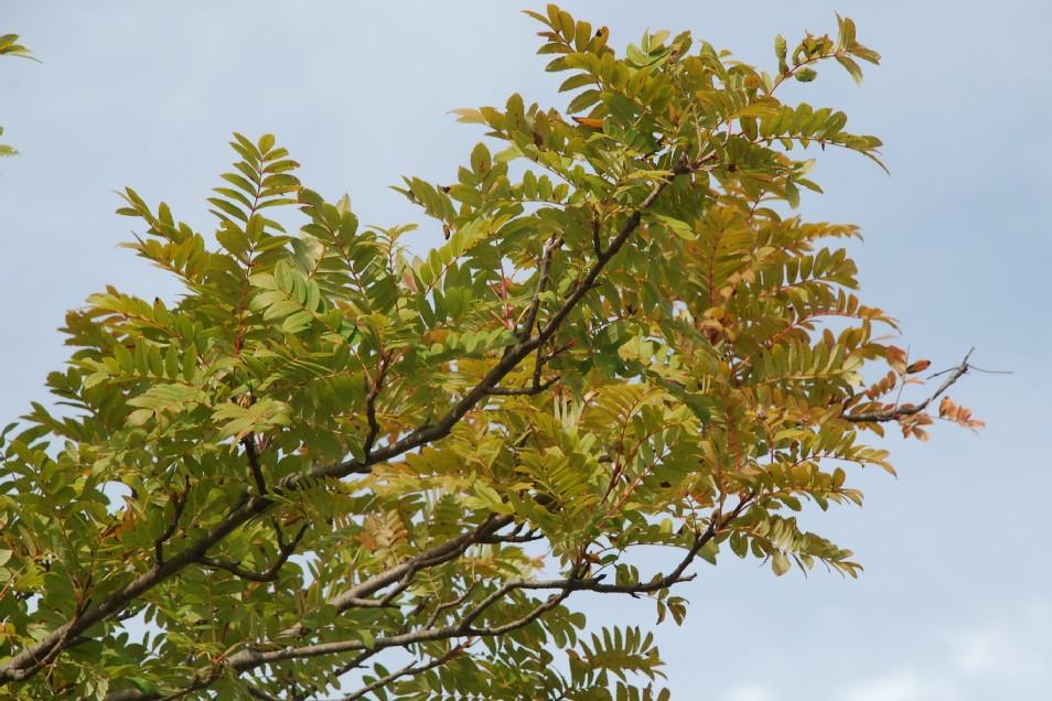 Sorbus domestica 16
