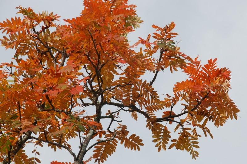 Sorbus domestica 19