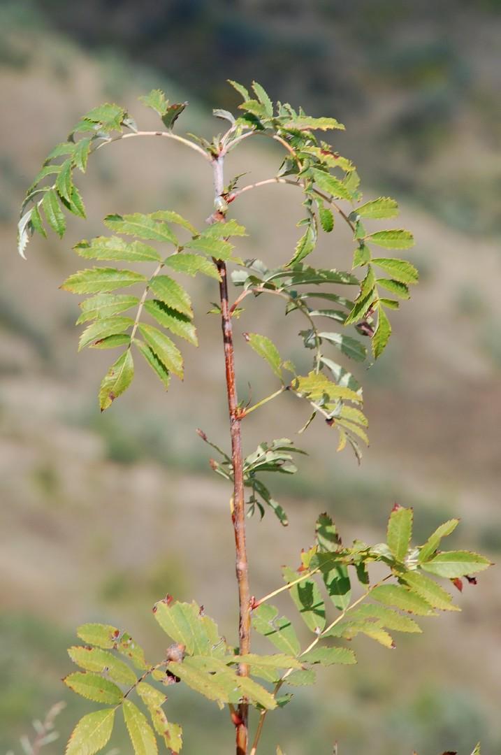 Sorbus domestica 5