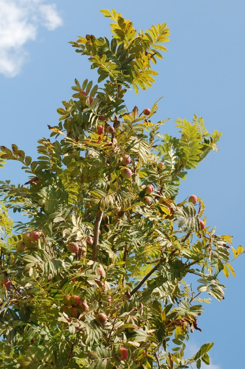 Sorbus domestica 7