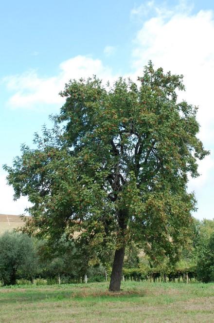 Sorbus domestica 8