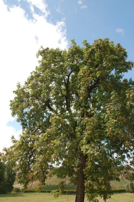 Sorbus domestica 9