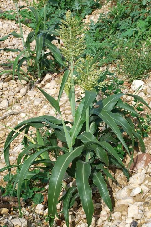 Sorghum bicolor 33