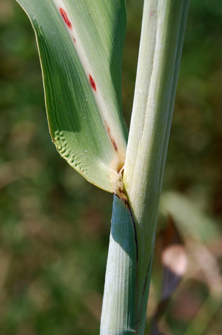 Sorghum bicolor 5