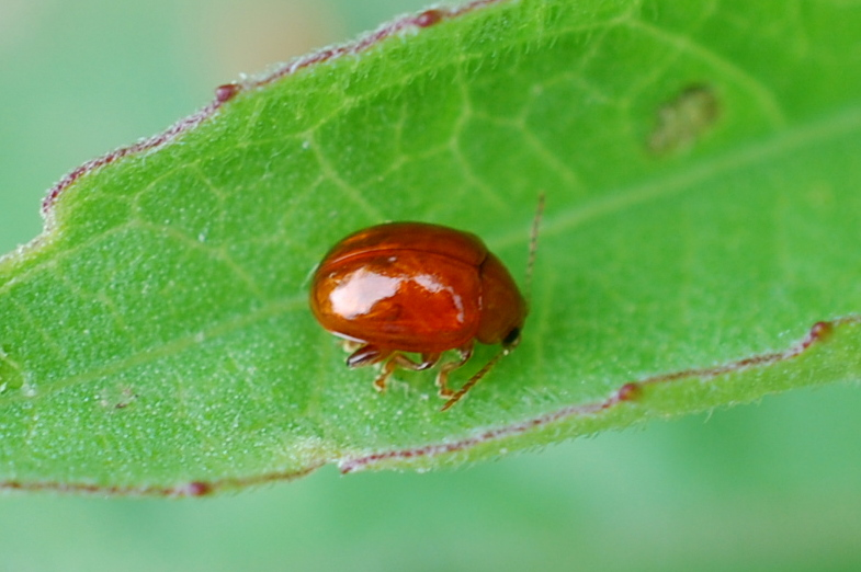 Sphaeroderma sp. - Chrysomelidae