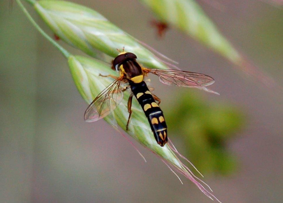 Sphaerophoria scripta - Syrphidae