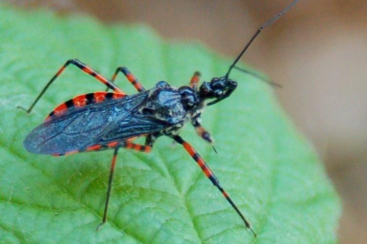 Sphedanolestes cingulatus - Reduviidae