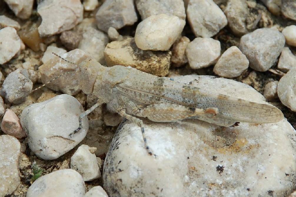 Sphingonotus sp. - Acrididae
