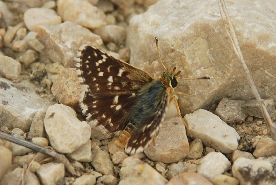 Spialia sertorius  -  Hesperiidae