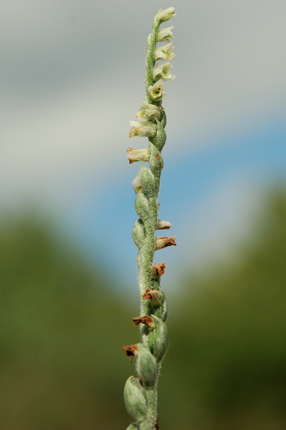 Spiranthes spiralis 6
