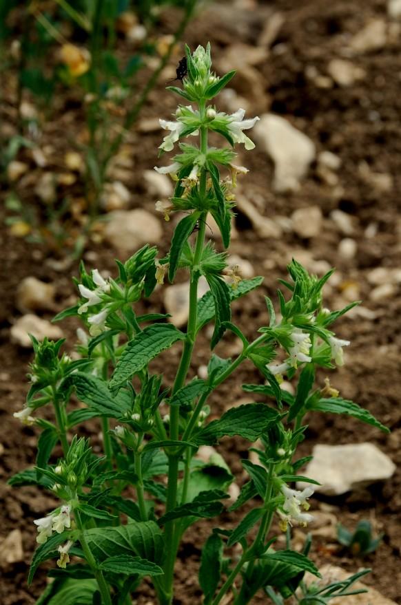 Stachys annua subsp. annua