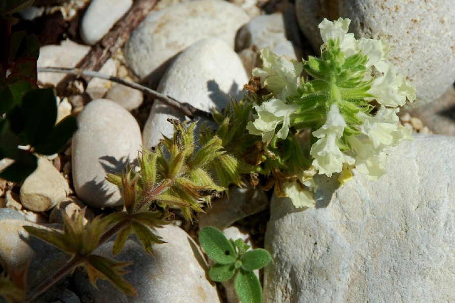 Stachys annua subsp. annua 12