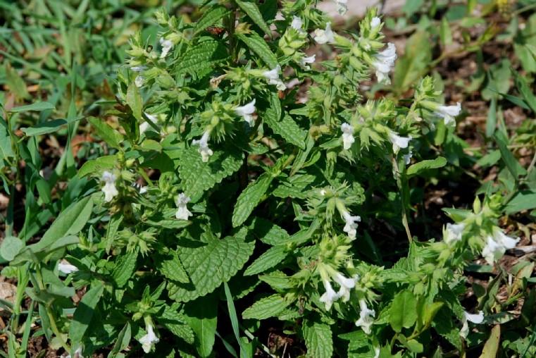 Stachys annua subsp. annua 14