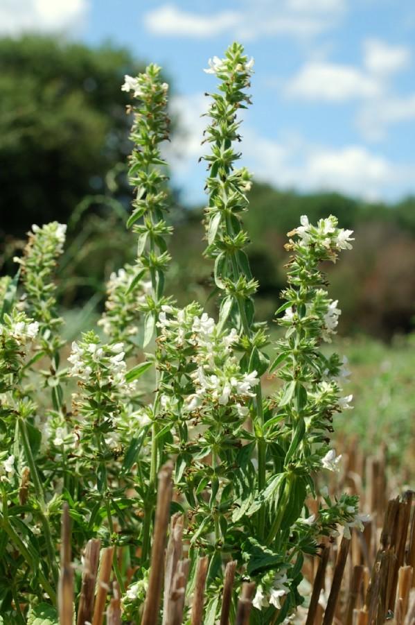 Stachys annua subsp. annua 16