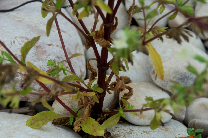 Stachys annua subsp. annua 19