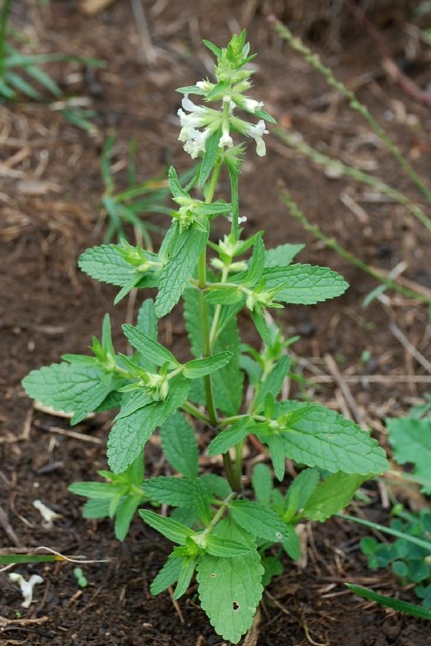 Stachys annua subsp. annua 23