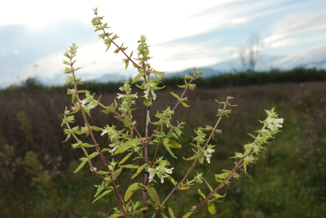 Stachys annua subsp. annua 6