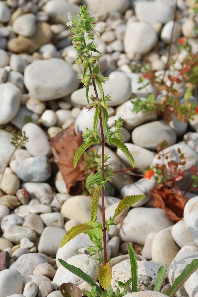 Stachys annua subsp. annua 7