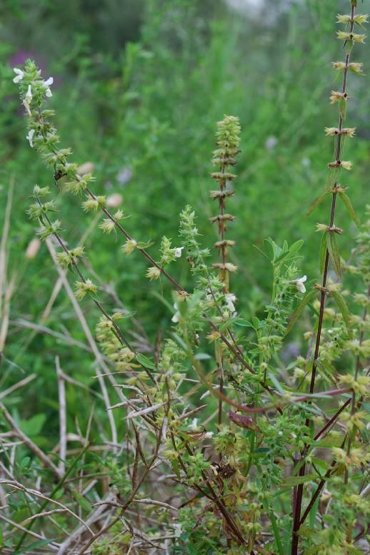 Stachys annua subsp. annua 9