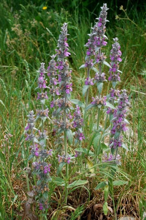 Stachys cretica subsp. salviifolia 14