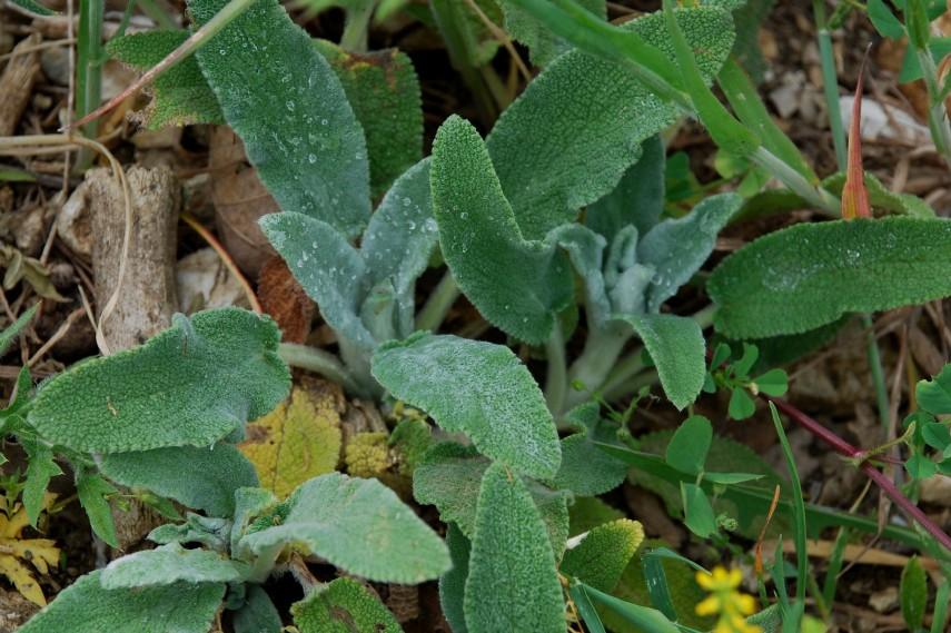 Stachys cretica subsp. salviifolia 16