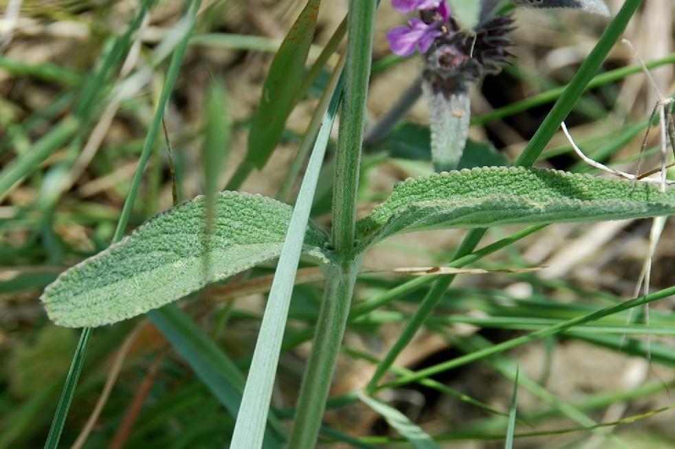 Stachys cretica subsp. salviifolia 8