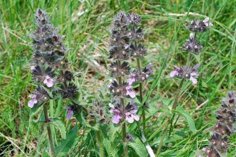 Stachys heraclea 18