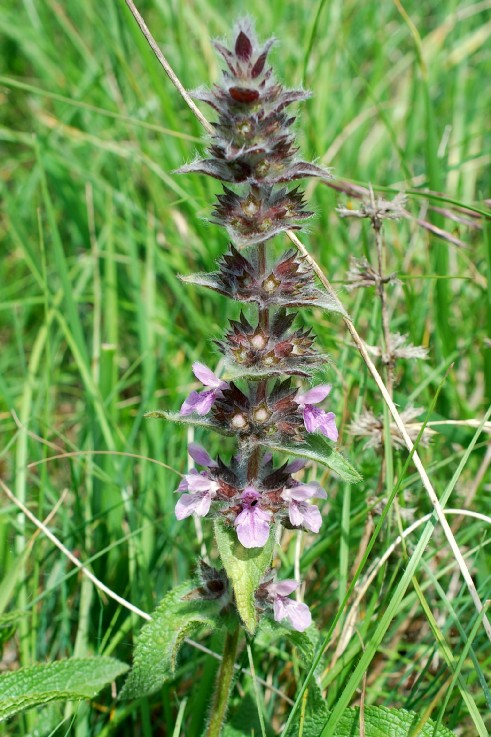 Stachys heraclea 19