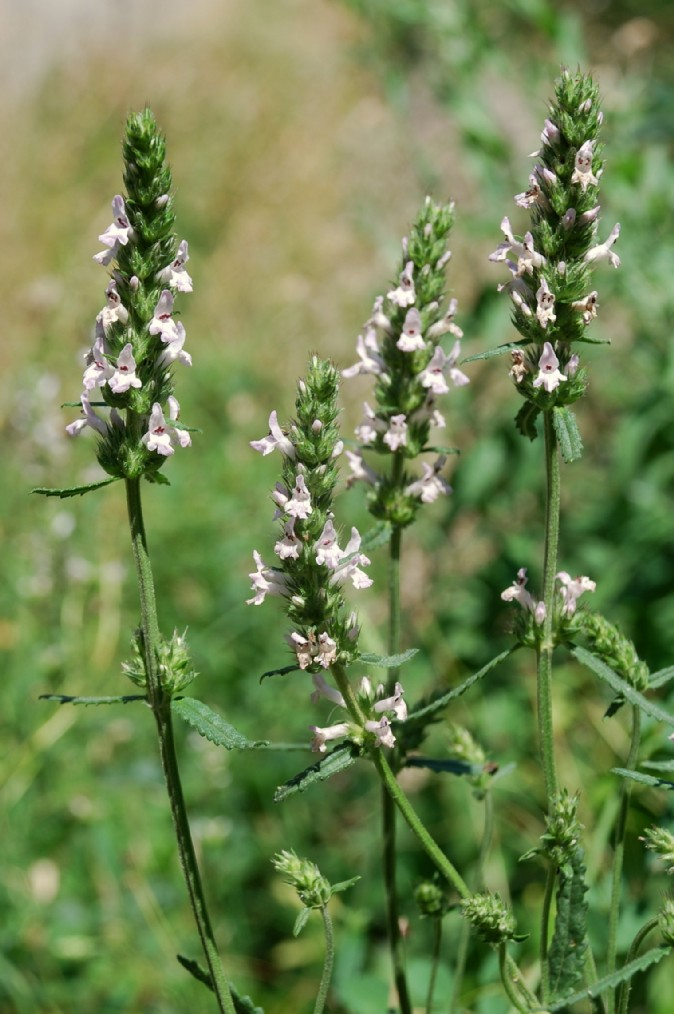 Stachys officinalis subsp. officinalis 9