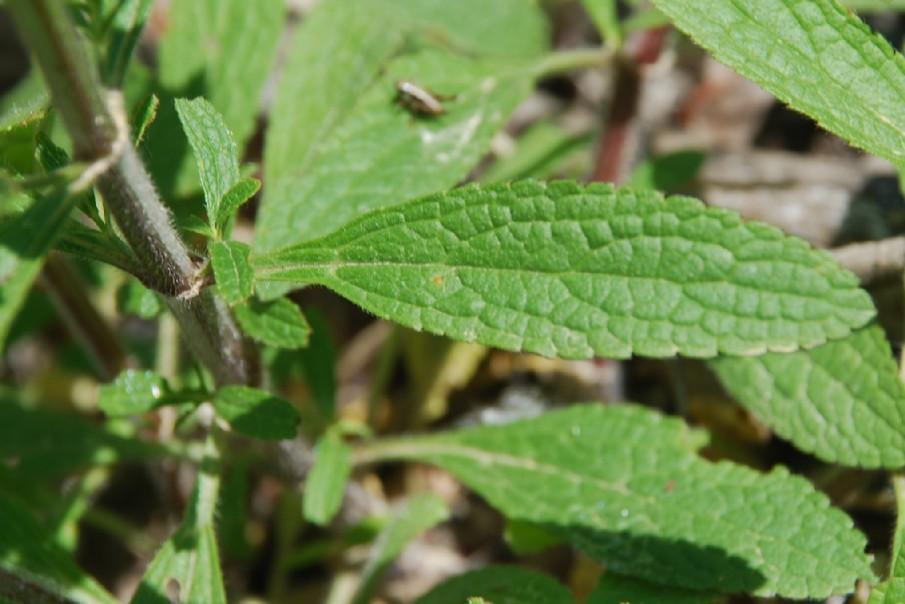 Stachys recta subsp. recta 16