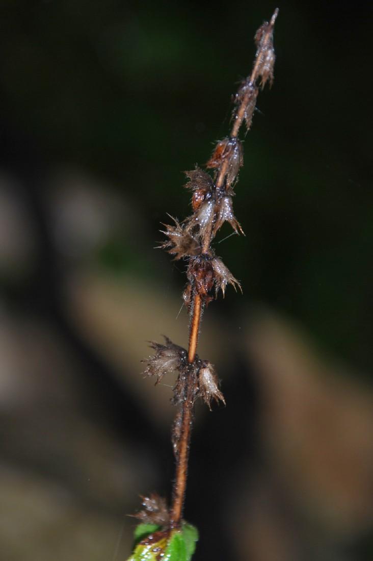 Stachys recta subsp. recta 6