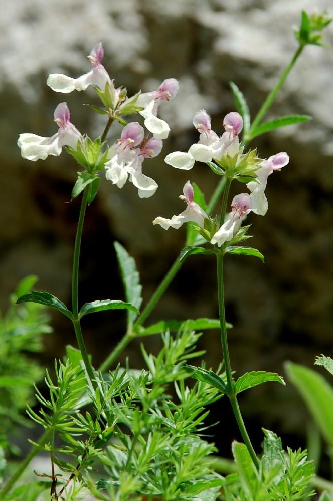 Stachys recta subsp. subcrenata