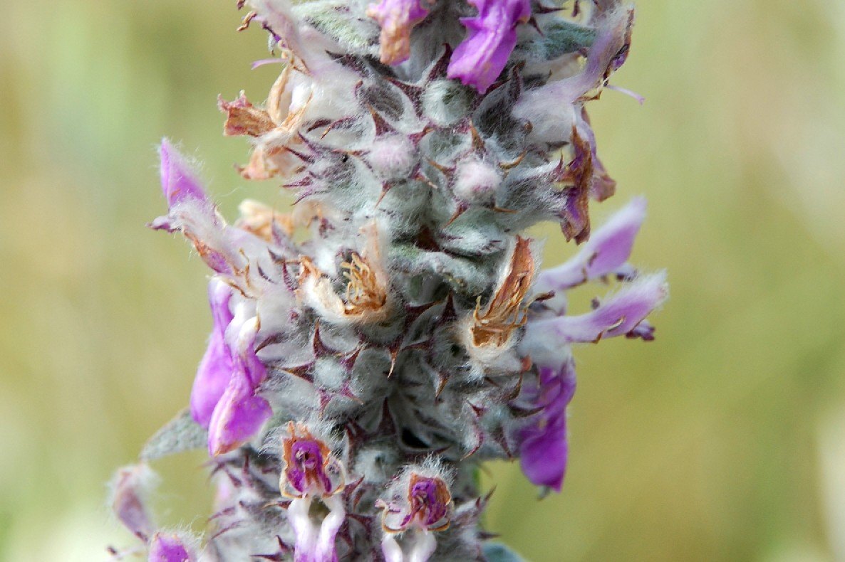 Stachys thirkei 8