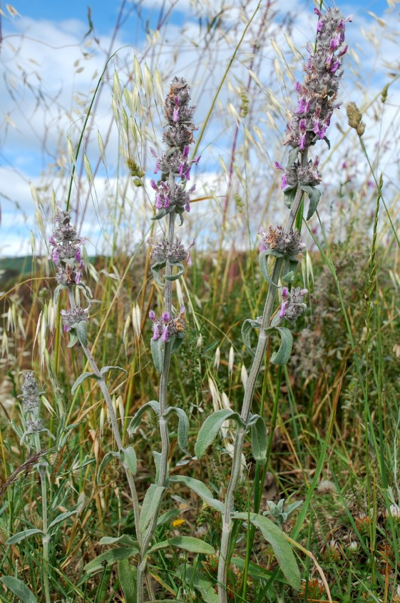 Stachys thirkei 9