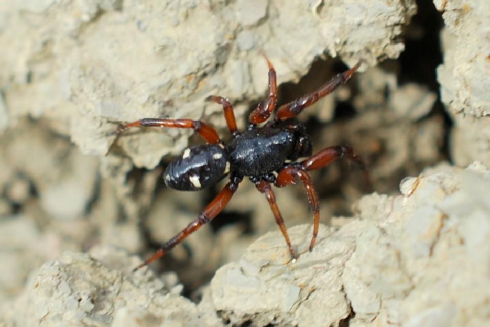 Steatoda phalerata - Theridiidae