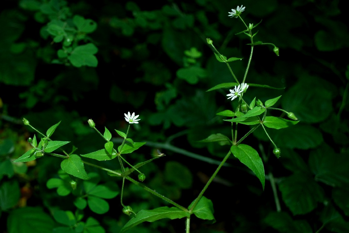 Stellaria aquatica
