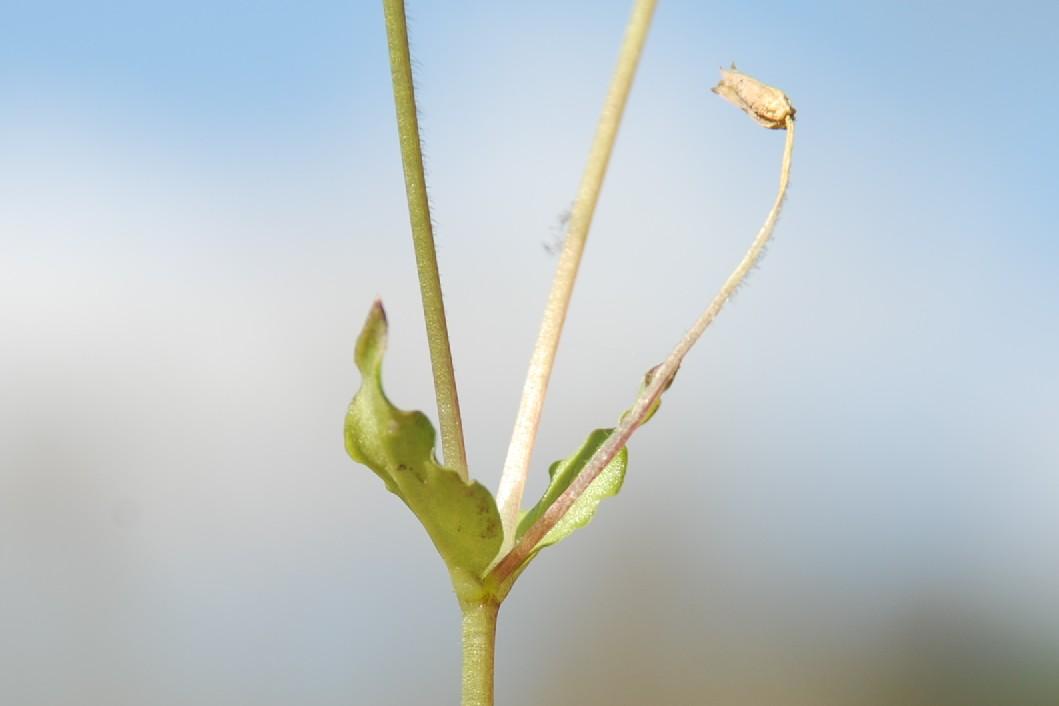 Stellaria media subsp. media 13