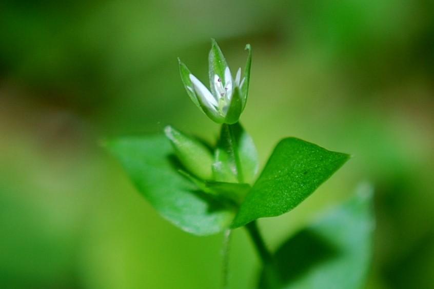 Stellaria media subsp. media 17