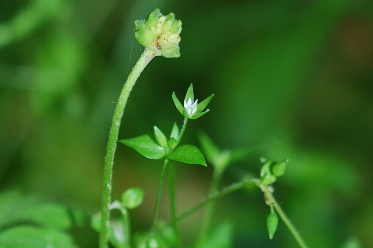 Stellaria media subsp. media 19